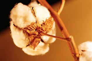 organic cotton plant