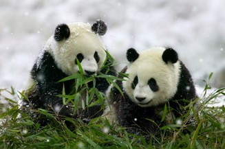 panda bears eating bamboo