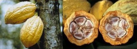 cacao pods and seeds