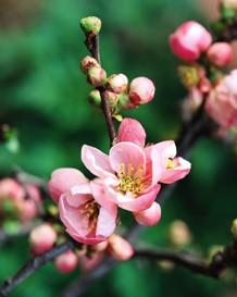 springtime flower buds